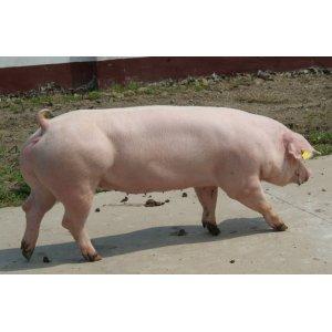 二元母猪价格,美系二元母猪,杜洛克种猪图片_