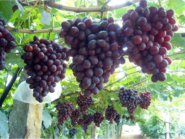 葡萄无核早熟品种你会种植吗