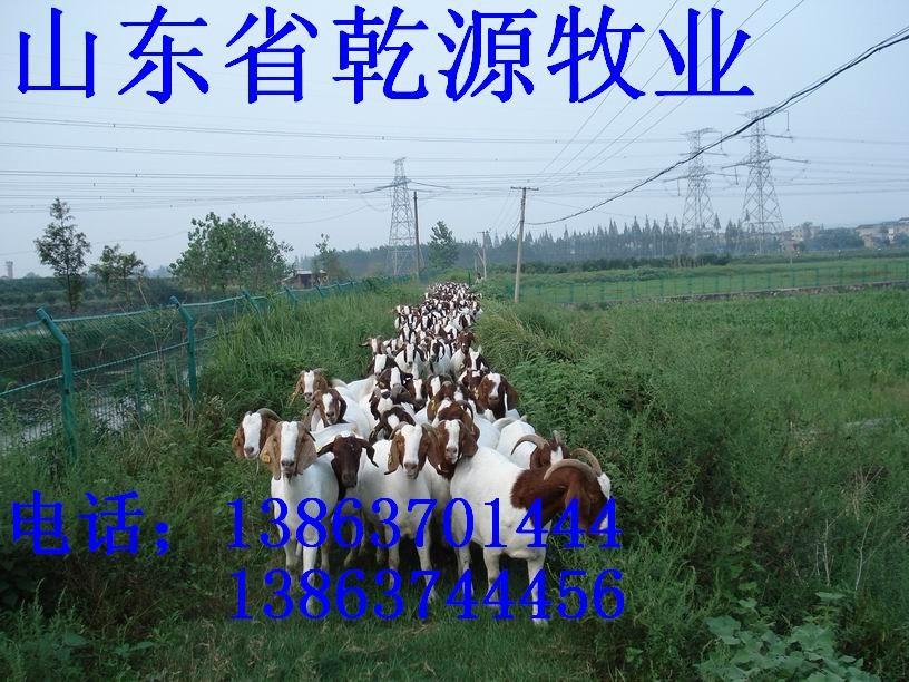 供应波尔 山羊养殖场建设 波尔 山羊 羊舍建设 肉
