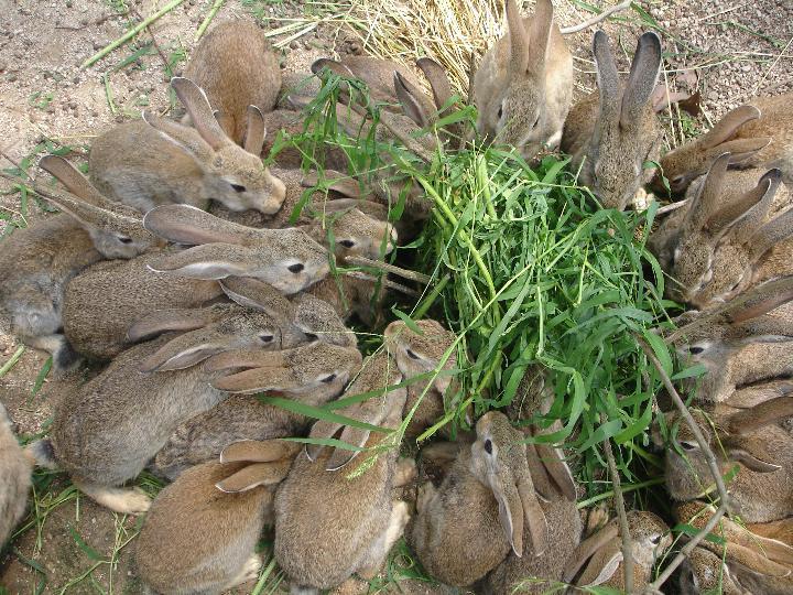 下夹子捕野兔秘绝图片_野兔价格_月野兔_捕野兔夹子(2)_排行榜网
