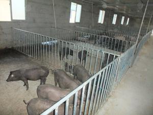 哪里有苏太猪出售内蒙古_哪里有太湖猪出售_