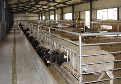 供应哪里有杜泊羊养殖场图片