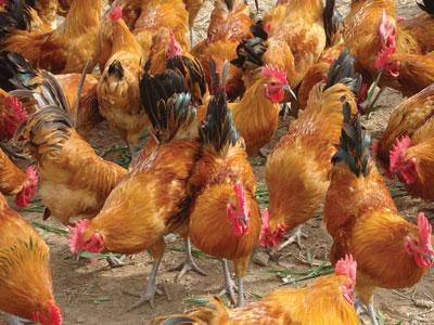 四川土鸡销售,四川生态土鸡苗,四川鸡苗市场,四川土鸡批发